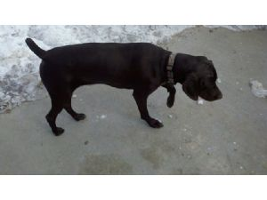 German Shorthaired PointerFor Sale stud