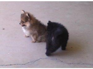 Pomeranian Puppies For Sale Akc Toy Pomeranian Puppies Champion