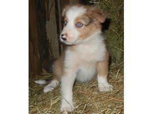 Border Collie Puppies For Sale Brindle Brindle Merle Sable Merle