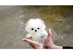 Related Keywords Amp Suggestions For Teacup Samoyed