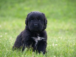Newfoundland Puppies For Sale Akc Newfoundland Puppies