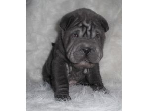 Chinese Shar Pei Puppies For Sale Mini Shar Peitoy