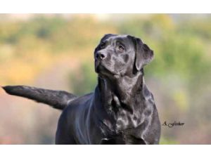 Labrador RetrieverFor Sale breeder directory