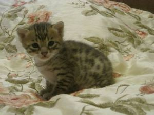 F4 Savannah Cats for Sale http://www.terrific-cats.com/for-sale/viewad.asp?adid=137983