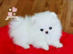 Teacup White Pom Puppies
