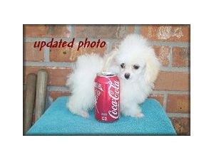 Toy Poodle Puppies For Sale Micro Teacup Poodles
