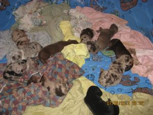 Catahoula Leopard DogFor Sale for sale