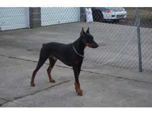 Doberman Pinscher stud