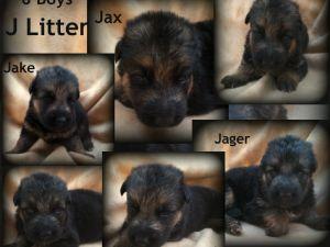 German Shepherd DogFor Sale breeder directory