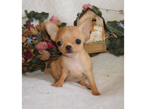 ChihuahuaFor Sale breeder directory