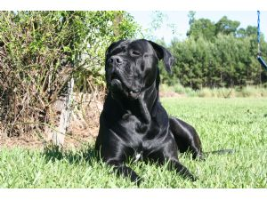 American bullmastiff pictures sale
