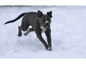 American Pit Bull Terrier stud