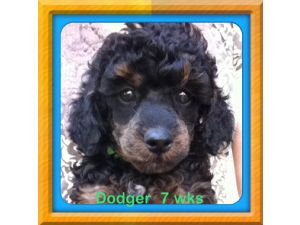 Miniature PoodleFor Sale for sale