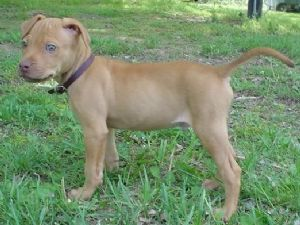 American Pit Bull Terrier Puppies For Sale: old family red ...