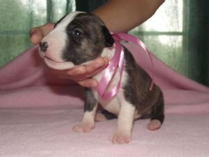 Bull TerrierFor Sale for sale