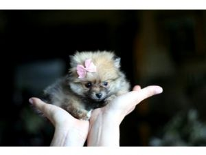 Pomeranian breeder directory