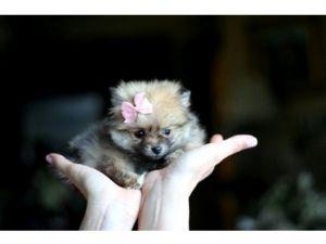 PomeranianFor Sale breeder directory