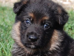 German Shepherd Dog for sale