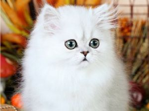 Teacup Munchkin Cats Related Keywords & Suggestions - Teacup Munchkin ...