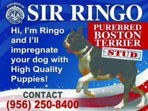Boston TerrierFor Sale stud