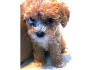 Toy PoodleFor Sale for sale