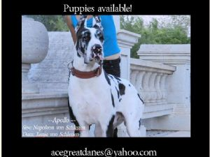 Great Dane stud
