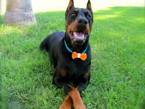 Doberman PinscherFor Sale stud