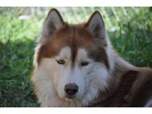 Siberian HuskyFor Sale stud