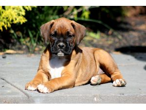 Boxers Puppies For Sale Boxer Puppies For Sale