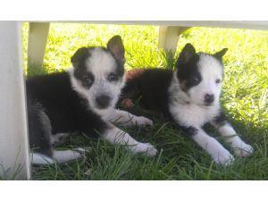 german shepherd dog puppies for sale akc registered german shepherd