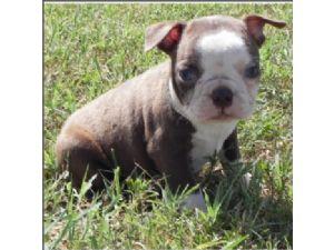Boston terrier rescue jacksonville fl