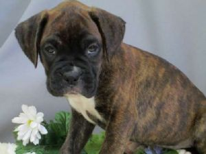 Boxers Puppies For Sale Boxer Puppies For Sale In Orange Park Fl