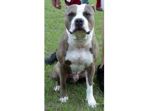 American Pit Bull TerrierFor Sale stud