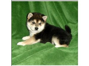 Shiba Inu Puppies For Sale Shiba Inu Puppies For Sale In Orange
