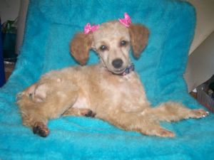 Miniature Poodle for sale