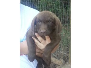 Chesapeake Bay RetrieverFor Sale for sale