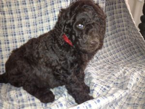 Standard Poodle for sale