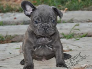 ... french bulldog puppies for sale in the inland empire california dog