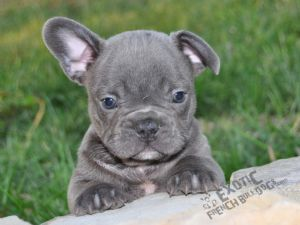 French Bulldog Puppies For Sale Rare Solid Blue French Bulldog Puppies