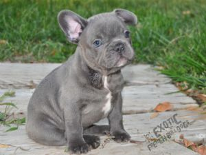 Sale For In French Massachusetts Bulldog Puppies