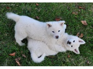 Akitas for sale