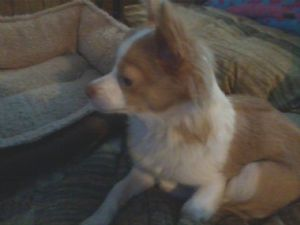 ChihuahuaFor Sale stud