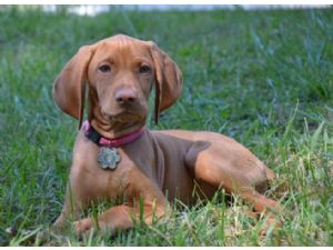 VizslaFor Sale for sale