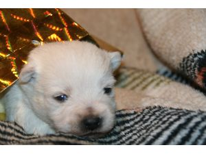 mn-west-highland-terrier-resue html in marielladanielsen