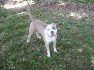 American Pit Bull TerrierFor Sale stud