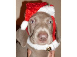 Weimaraner for sale