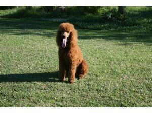 Standard PoodleFor Sale breeder directory