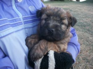 Soft Coated Wheaten Terriers for sale