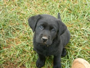 What is a purebred labrador retriever