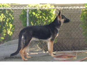 German Shepherd DogFor Sale breeder directory
